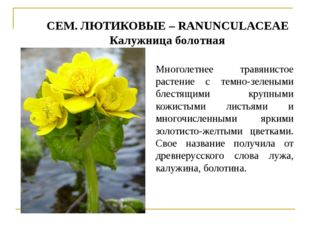 СЕМ. ЛЮТИКОВЫЕ – RANUNCULACEAE Калужница болотная Многолетнее травянистое рас