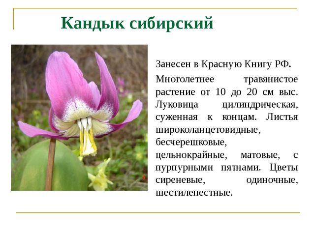 Кандык сибирский Занесен в Красную Книгу РФ. Многолетнее травянистое растение...