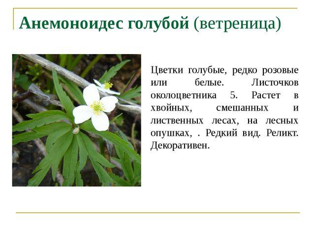 Анемоноидес голубой (ветреница) Цветки голубые, редко розовые или белые. Лист...
