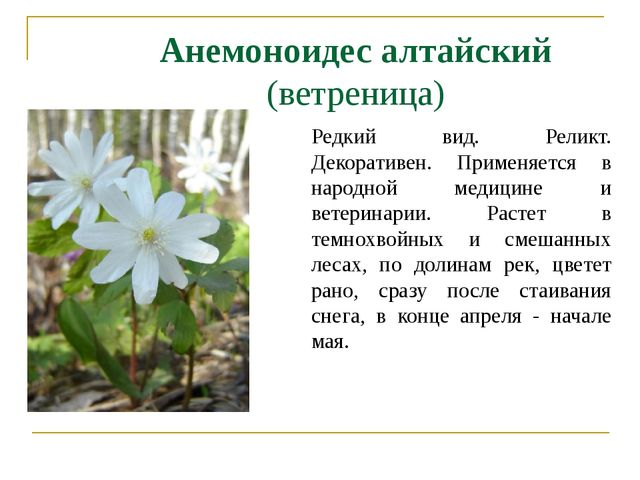 Анемоноидес алтайский (ветреница) Редкий вид. Реликт. Декоративен. Применяетс...