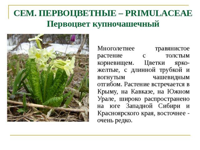 СЕМ. ПЕРВОЦВЕТНЫЕ – PRIMULACEAE Первоцвет купночашечный Многолетнее травянист...
