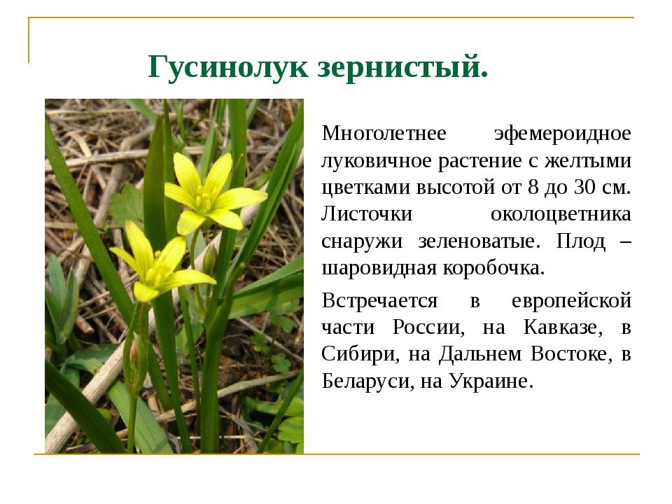 Гусинолук зернистый. Многолетнее эфемероидное луковичное растение с желтыми ц...