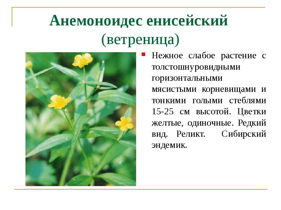 Анемоноидес енисейский (ветреница) Нежное слабое растение с толстошнуровидным...