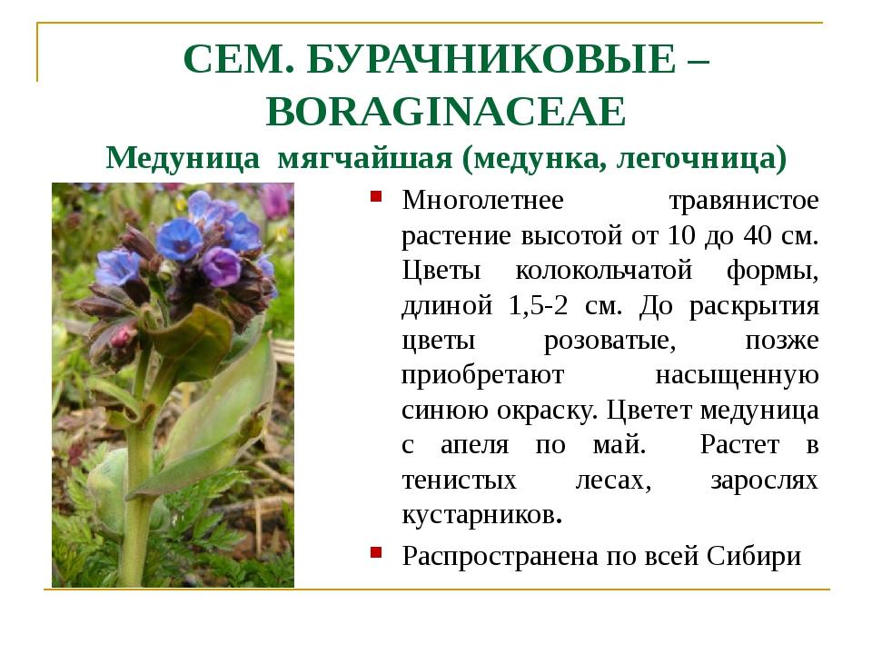 СЕМ. БУРАЧНИКОВЫЕ – BORAGINACEAE Медуница мягчайшая (медунка, легочница) Мног...