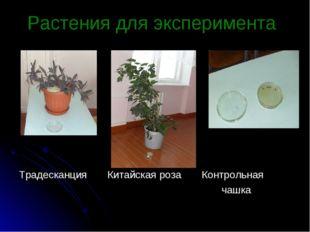 Растения для эксперимента Традесканция Китайская роза Контрольная чашка