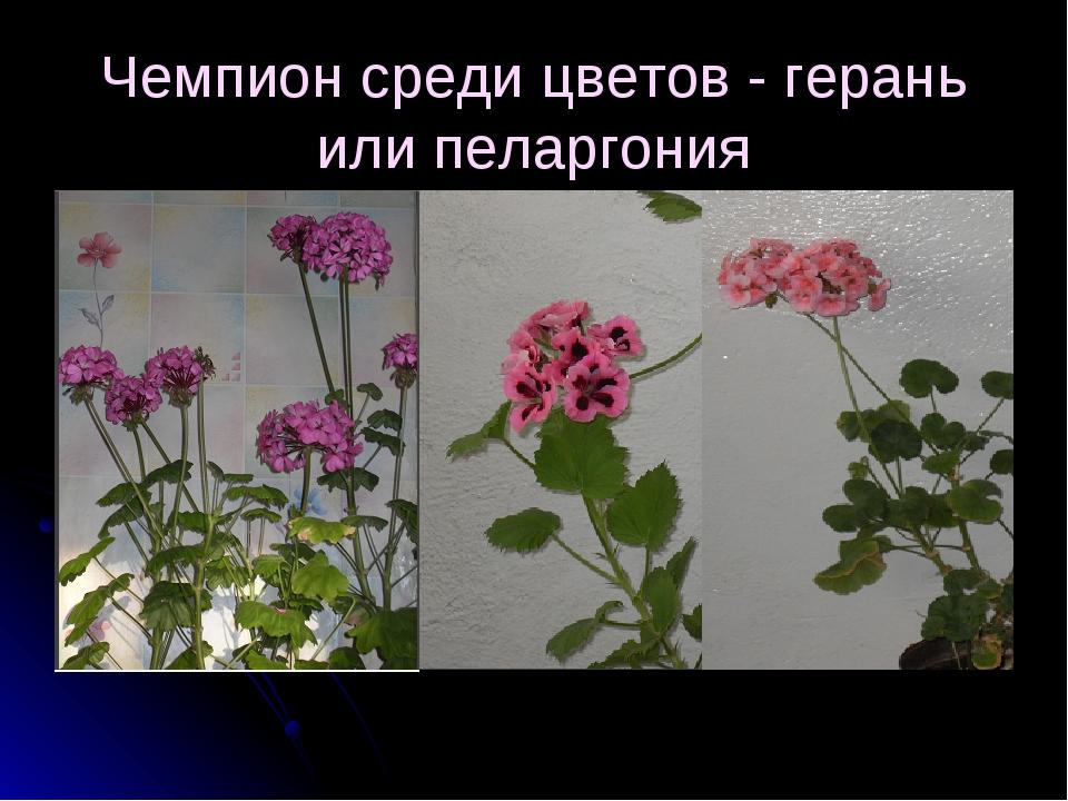 Чемпион среди цветов - герань или пеларгония