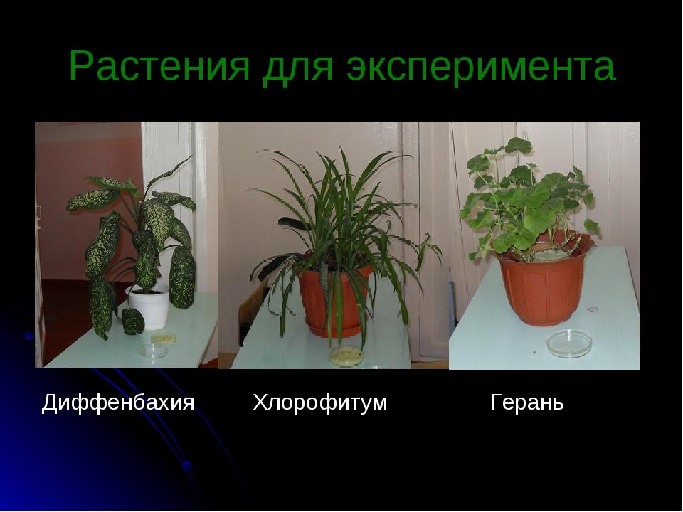 Растения для эксперимента Диффенбахия Хлорофитум Герань