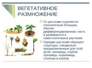 ВЕГЕТАТИВНОЕ РАЗМНОЖЕНИЕ От растения отделяется относительно большая, обычно