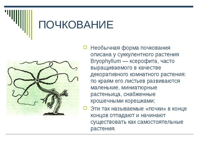 ПОЧКОВАНИЕ Необычная форма почкования описана у суккулентного растения Bryoph...