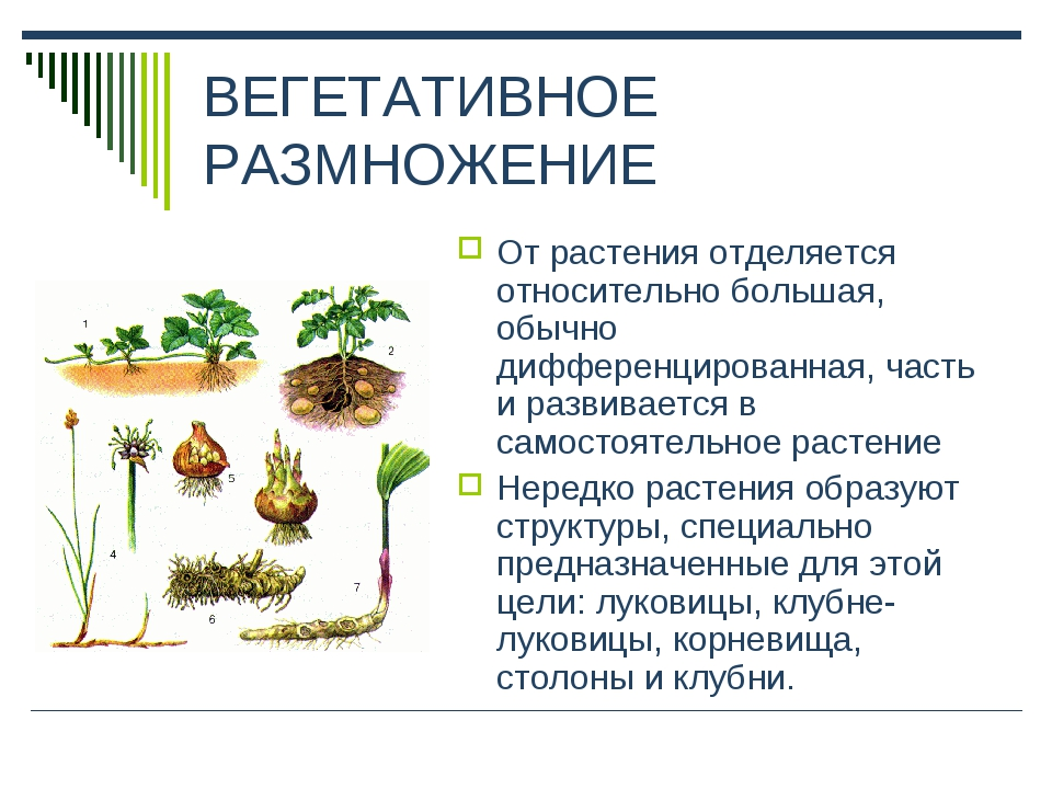 ВЕГЕТАТИВНОЕ РАЗМНОЖЕНИЕ От растения отделяется относительно большая, обычно...