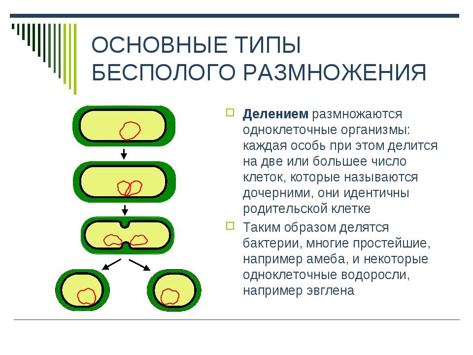 ОСНОВНЫЕ ТИПЫ БЕСПОЛОГО РАЗМНОЖЕНИЯ Делением размножаются одноклеточные орган...