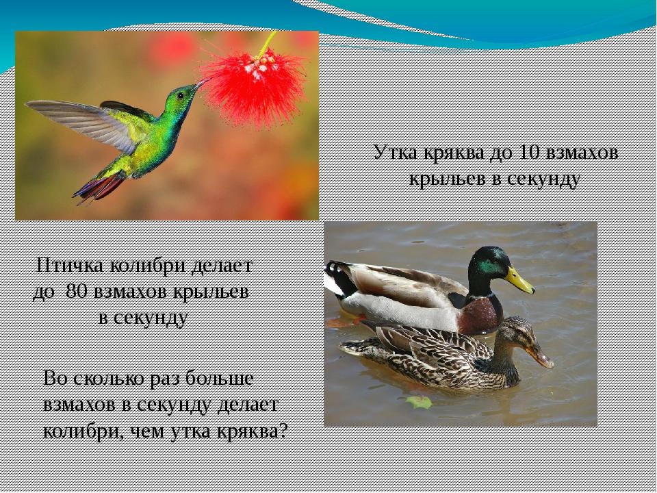 Птичка колибри делает до 80 взмахов крыльев в секунду Утка кряква до 10 взмах...