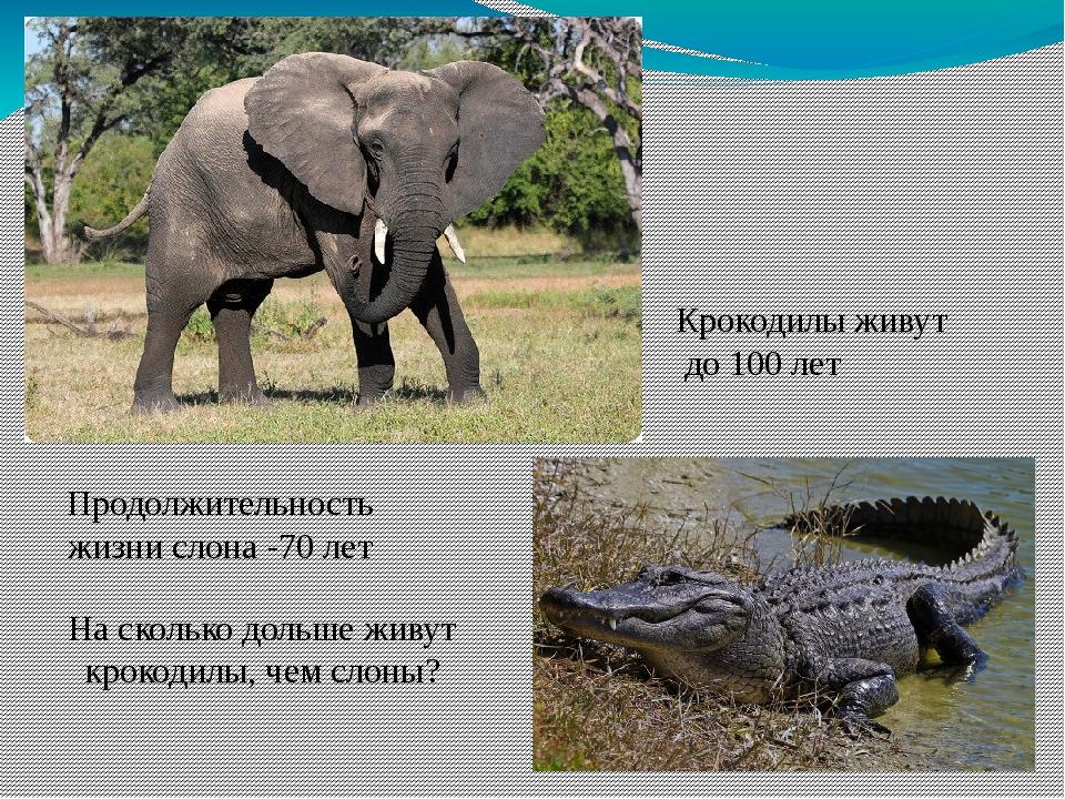 Продолжительность жизни слона -70 лет Крокодилы живут до 100 лет На сколько д...