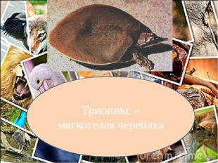 Трионикс – мягкотелая черепаха