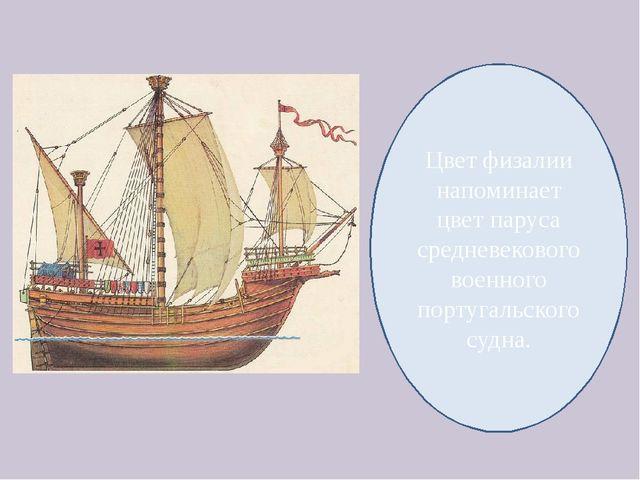 Цвет физалии напоминает цвет паруса средневекового военного португальского су...