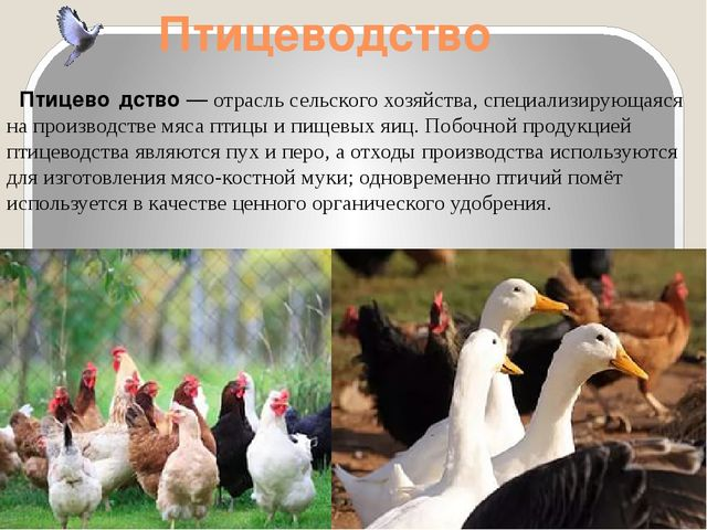 Птицеводство Птицево́дство— отрасльсельского хозяйства, специализирующаяся...