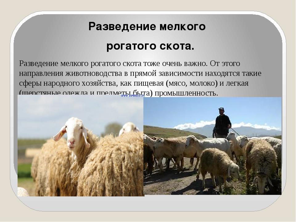 Разведение мелкого рогатого скота. Разведение мелкого рогатого скота тоже оч...