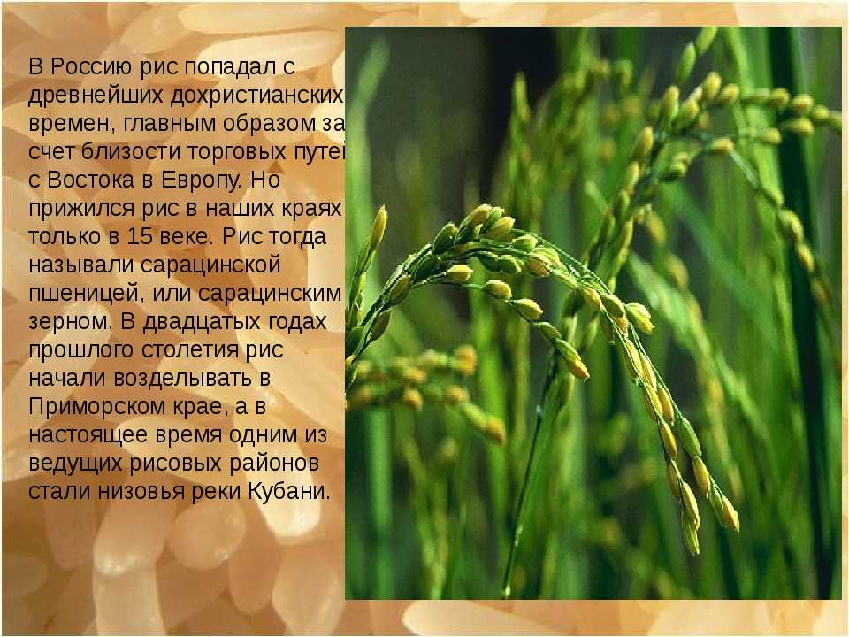 В Россию рис попадал с древнейших дохристианских времен, главным образом за с...