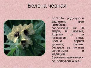 Белена чёрная БЕЛЕНА - род одно- и двулетних трав семейства пасленовых. Ок. 2