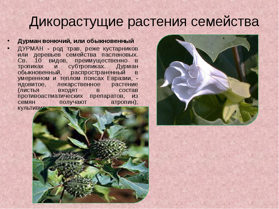 Дикорастущие растения семейства Дурман вонючий, или обыкновенный ДУРМАН - род...