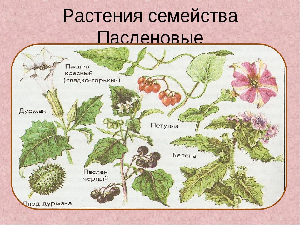 Растения семейства Пасленовые