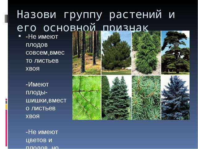 Назови группу растений и его основной признак -Не имеют плодов совсем,вместо...