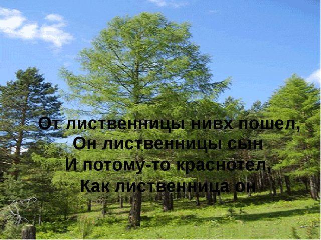 От лиственницы нивх пошел, Он лиственницы сын И потому-то краснотел, Как лист...