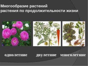 Многообразие растений растения по продолжительности жизни однолетние двулетни