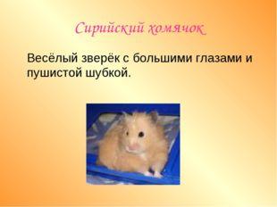 Сирийский хомячок Весёлый зверёк с большими глазами и пушистой шубкой.