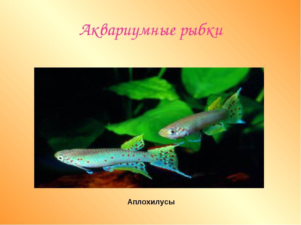 Аквариумные рыбки Аплохилусы