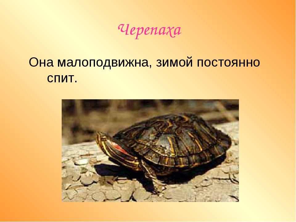 Черепаха Она малоподвижна, зимой постоянно спит.