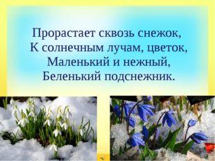 Прорастает сквозь снежок, К солнечным лучам, цветок, Маленький и нежный, Бел