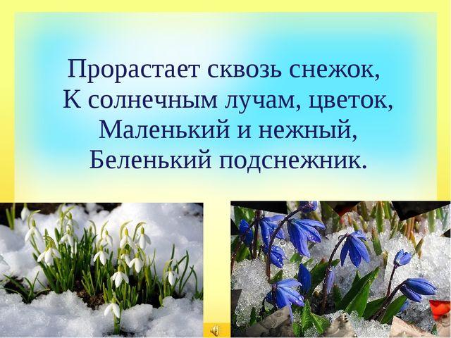 Прорастает сквозь снежок, К солнечным лучам, цветок, Маленький и нежный, Бел...