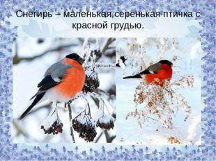Снегирь – маленькая серенькая птичка с красной грудью.