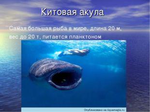 Китовая акула Самая большая рыба в мире, длина 20 м, вес до 20 т, питается пл