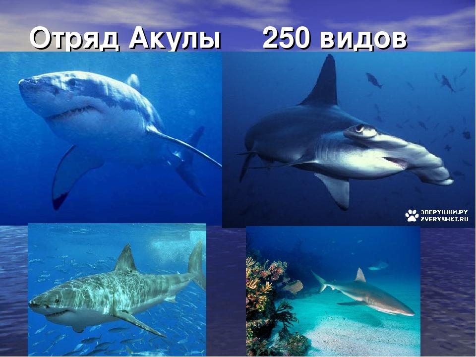 Отряд Акулы 250 видов