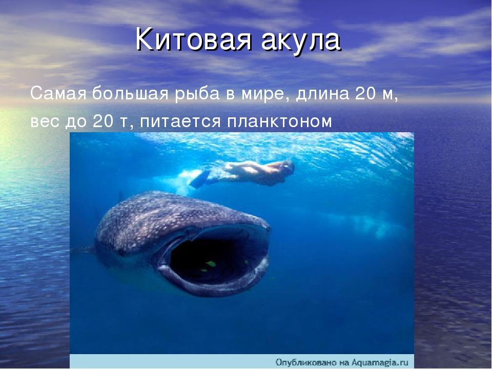 Китовая акула Самая большая рыба в мире, длина 20 м, вес до 20 т, питается пл...