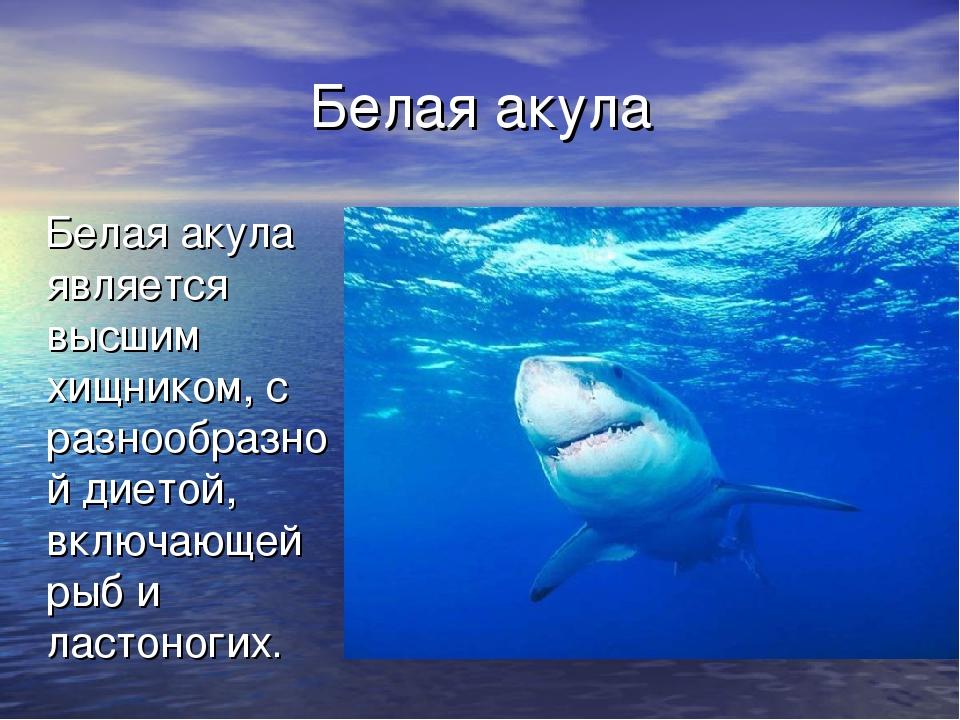 Белая акула Белая акула является высшим хищником, с разнообразной диетой, вкл...