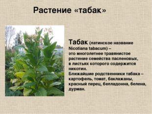 Табак (латинское название Nicotiana tabacum) – это многолетнее травянистое ра