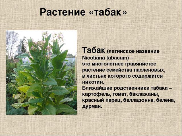 Табак (латинское название Nicotiana tabacum) – это многолетнее травянистое ра...