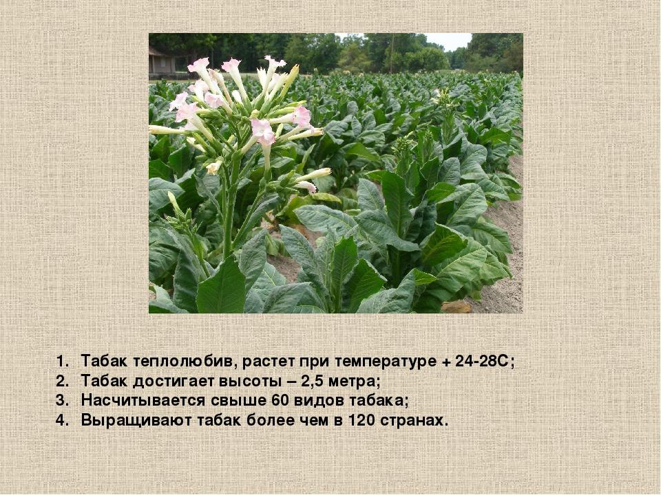 Табак теплолюбив, растет при температуре + 24-28С; Табак достигает высоты – 2...