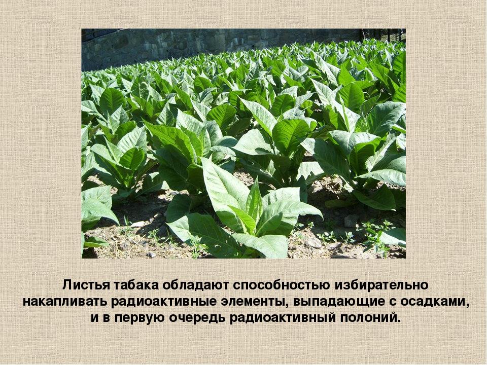 Листья табака обладают способностью избирательно накапливать радиоактивные эл...