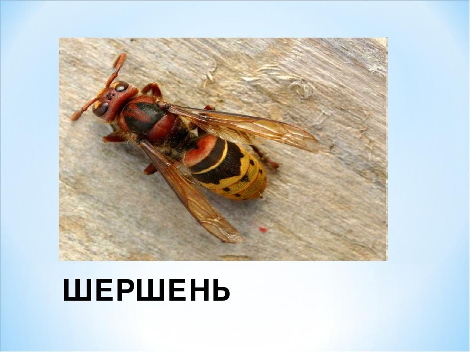 ШЕРШЕНЬ