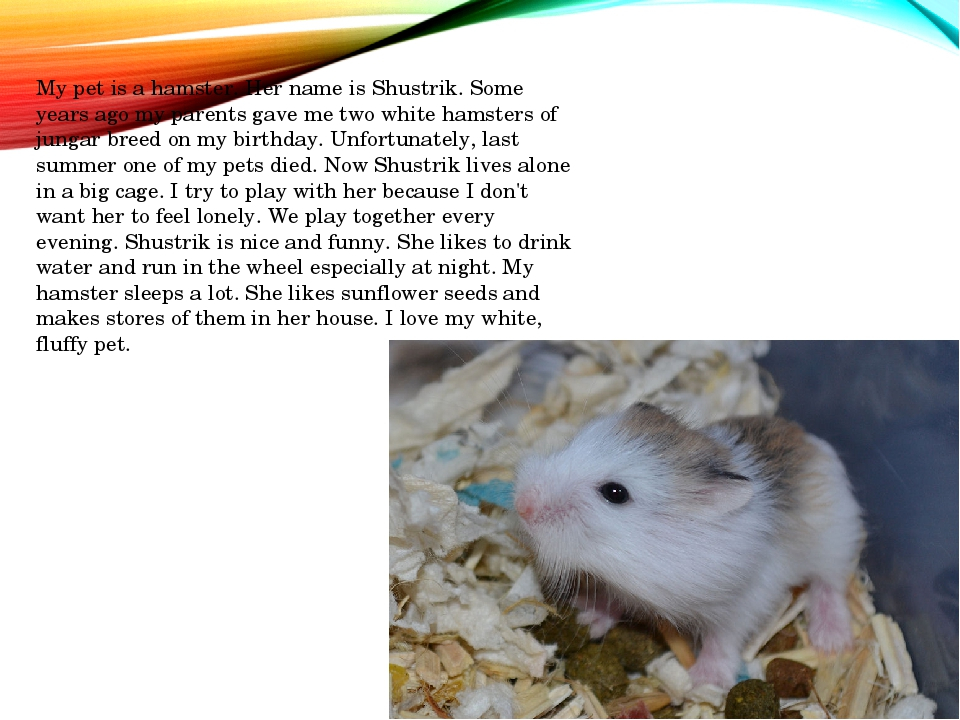 My pet is a hamster. Her name is Shustrik. Some years ago my parents gave me...