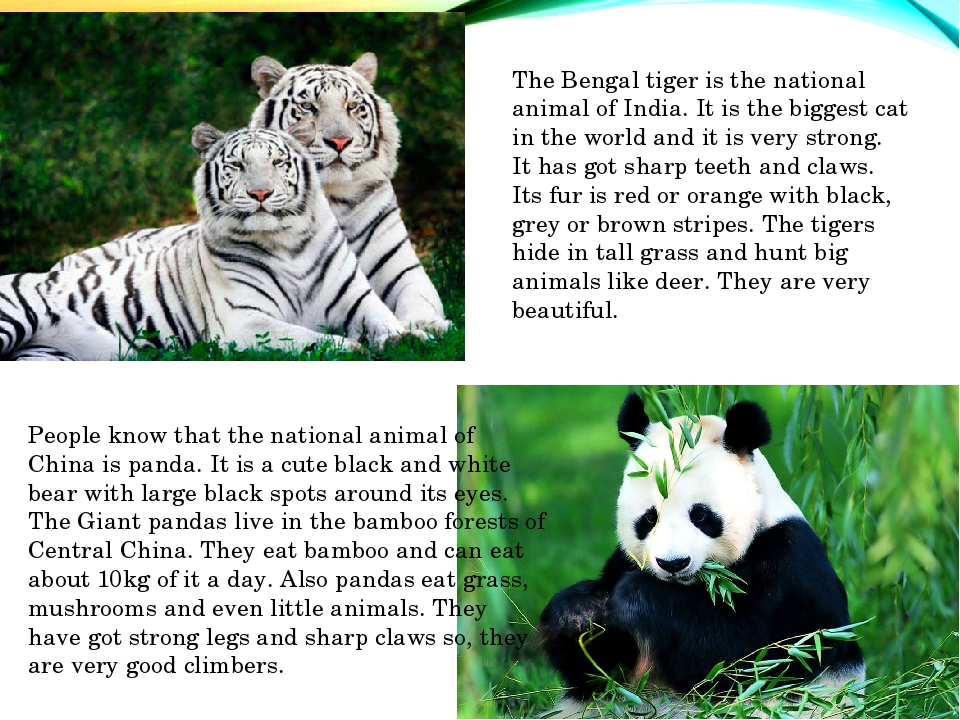 The Bengal tiger is the national animal of India. It is the biggest cat in th...