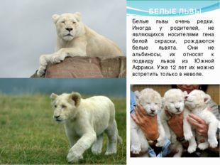 БЕЛЫЕ ЛЬВЫ Белые львы очень редки. Иногда у родителей, не являющихся носителя