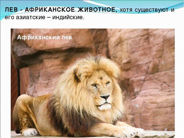 Африканский лев ЛЕВ - АФРИКАНСКОЕ ЖИВОТНОЕ, хотя существуют и его азиатские –...