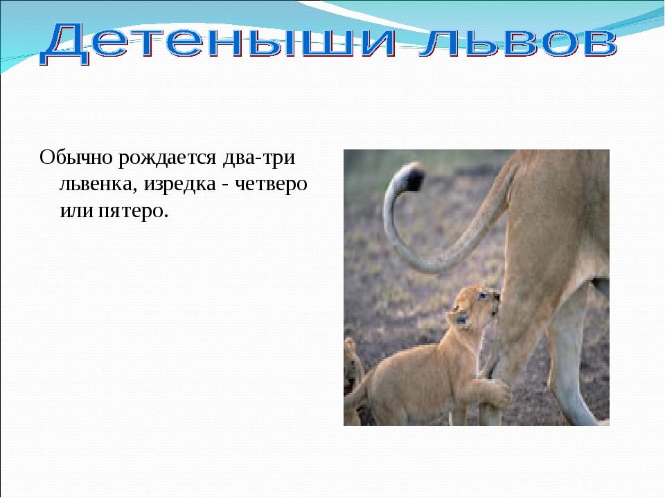 Обычно рождается два-три львенка, изредка - четверо или пятеро.