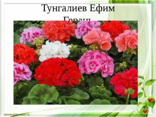 Тунгалиев Ефим Герань