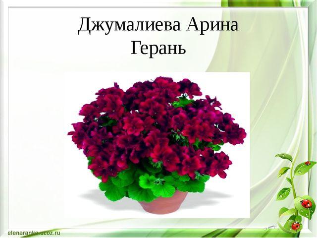 Джумалиева Арина Герань